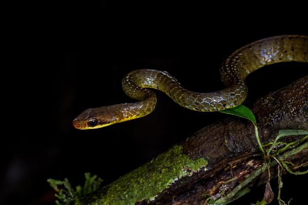 racer, Chironius exoletus (Colubridae). Bates Trail, Shiripuno, Orellana Ecuador
