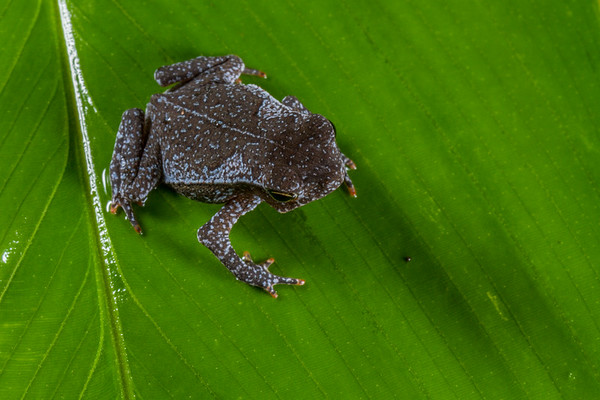South American common toad, Rhinella margaritifera complex (Bufonidae). unnamed trail, Shiripuno, Orellana Ecuador