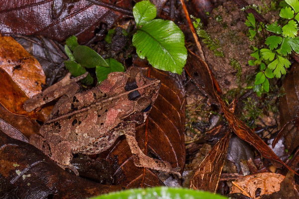 Rhinella margaritifera complex (Bufonidae). Shiripuno, Orellana Ecuador
