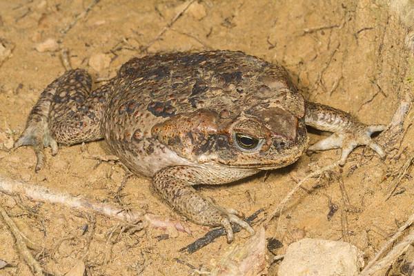 cane toad, Rhinella marina (Bufonidae). Gareno Amazon, Napo, Ecuador