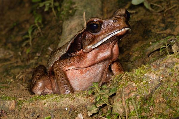 cundinamasca toad, Rhaebo guttatus (Bufonidae). Gareno Amazon, Napo, Ecuador