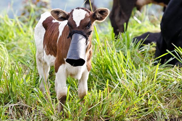 calf. Cosango, Napo Ecuador