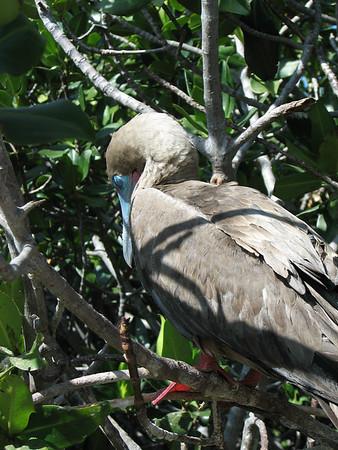 red-footed booby, Sula sula (Sulidae). Isla Genovesa, Galapagos Islands Ecuador