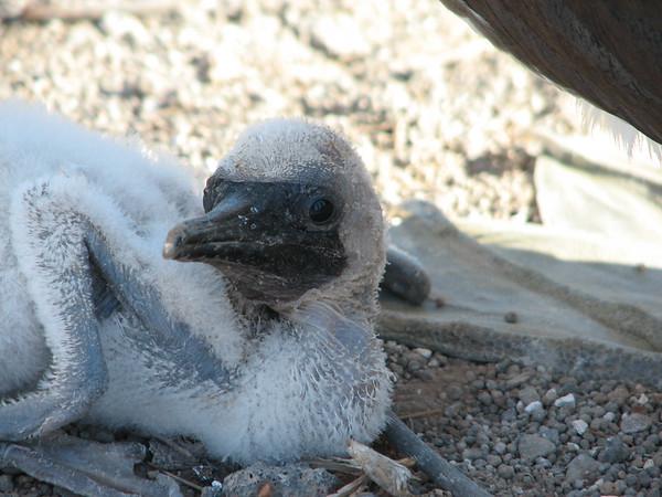 Nazca Booby, Sula granti (Sulidae). Prince Philips Steps, Isla Genovesa, Galapagos Islands Ecuador