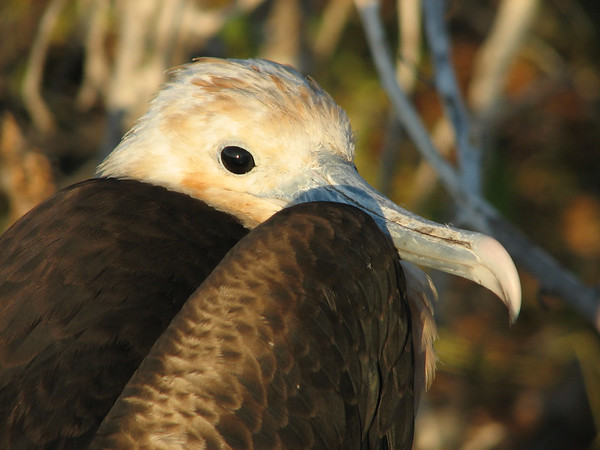 great frigatebird, Fregata minor (Fregatidae). Isla Genovesa, Galapagos Islands Ecuador