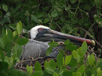 Brown Pelican, Pelecanus occidentalis (Pelicanidae). Isla Bartolome, Galapagos Islands Ecuador