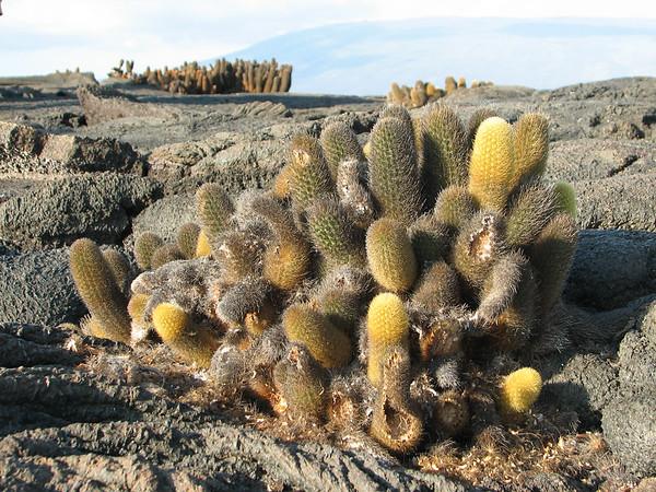cactus - Punta Espinosa Fernandina - Galapagos Islands - Ecuador - ©2006 Margy Green