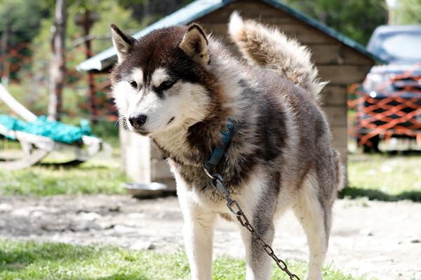 sled dog. Ushuaia, Patagonia Argentina