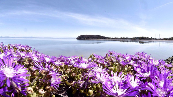 Bay Trail ice plant blooms off Coyote Point