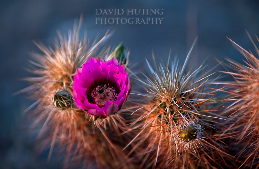 Vibrant Spring Cactus in Bloom, Phoenix