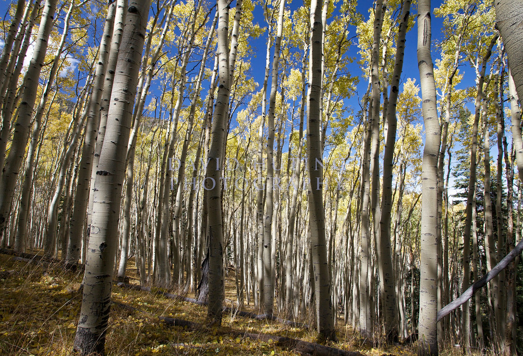 Yellow Aspen Forest View