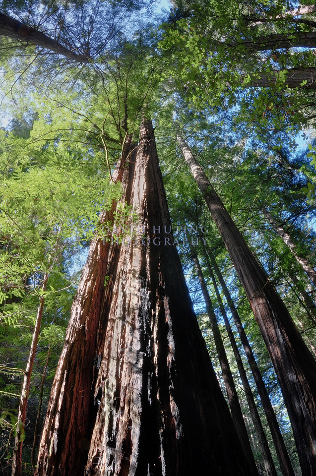Giant Redwood - Fisheye View<br /> Muir Woods, CA