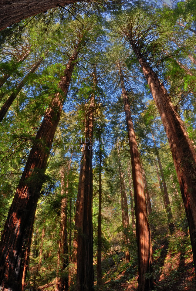Sunny Forest Redwoods<br /> Muir Woods, CA (HDR)