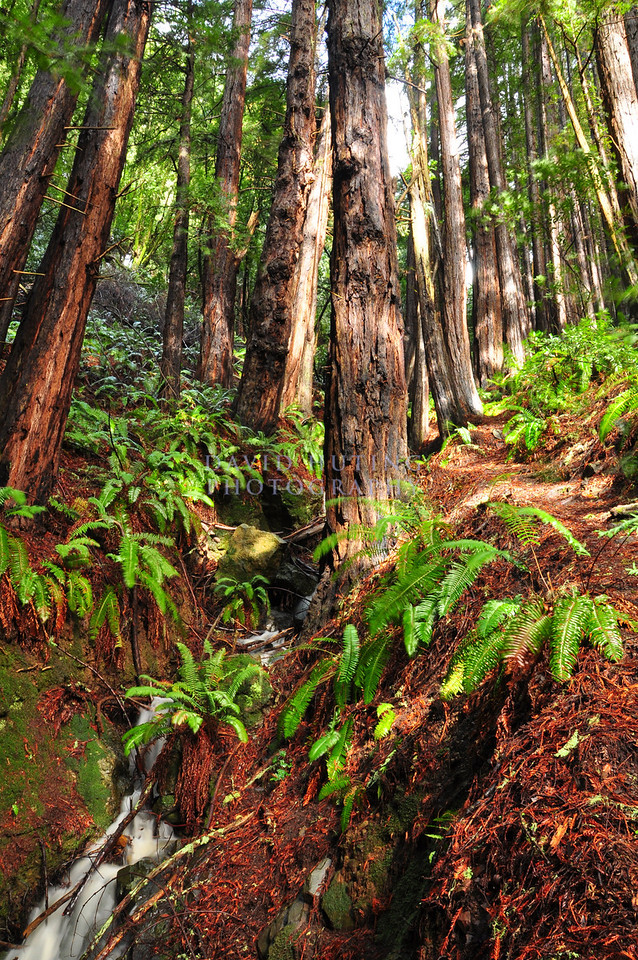 Sunny Creek Flowing<br /> Redwood Forests of Muir Woods