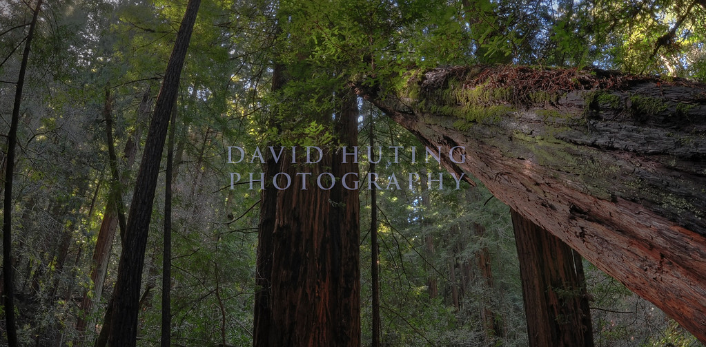 Redwood Fisheye Panoramic<br /> Muir Woods, CA