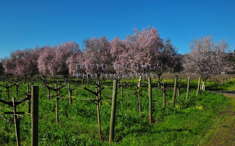 Springtime Napa VIneyard View