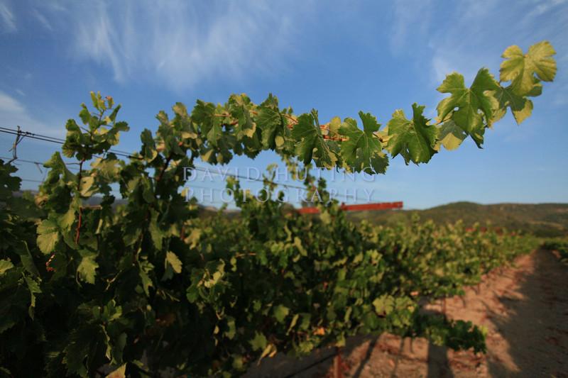 Napa Valley Vineyard Leaves