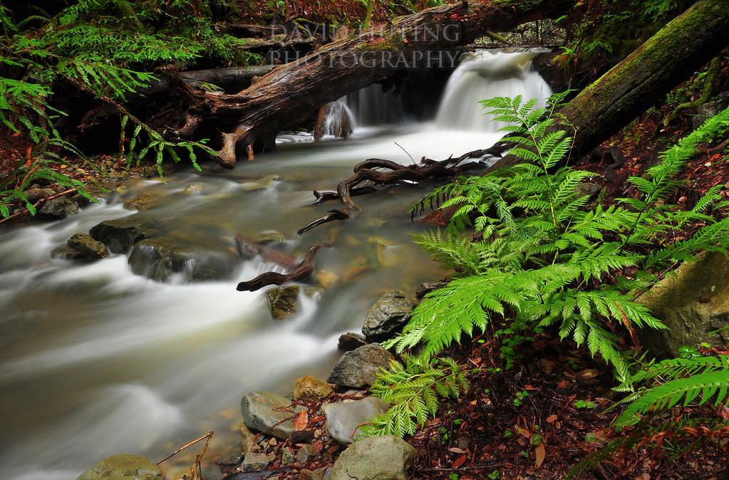 Fern Creek Flowing<br /> Muir Woods, CA
