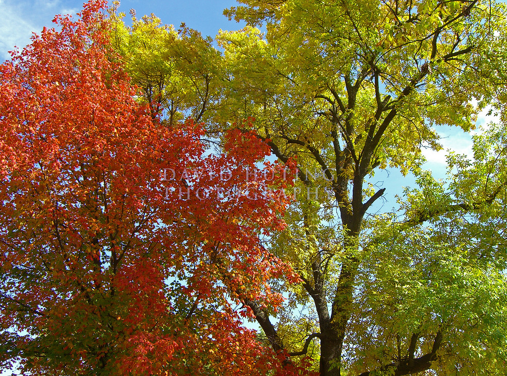 Ames Trees - Red & Gold