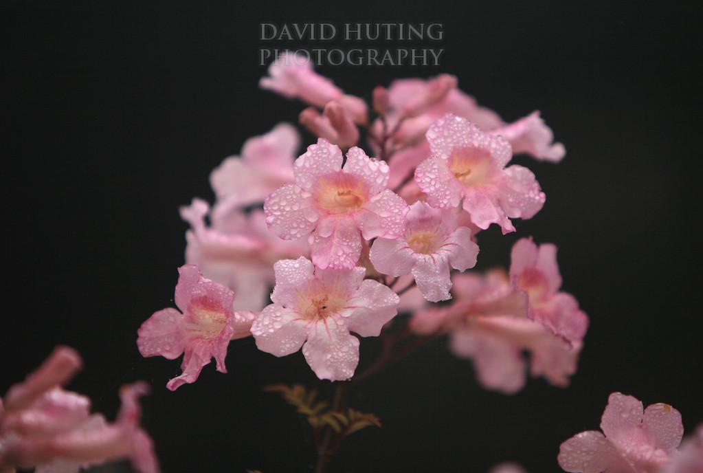 Pink Flowers - Raindrops