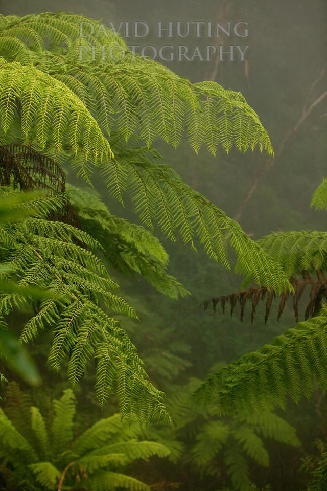 Foggy Forest Ferns new