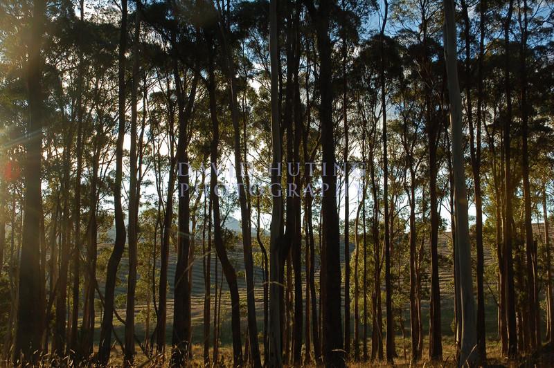 Tasmanian Treeline