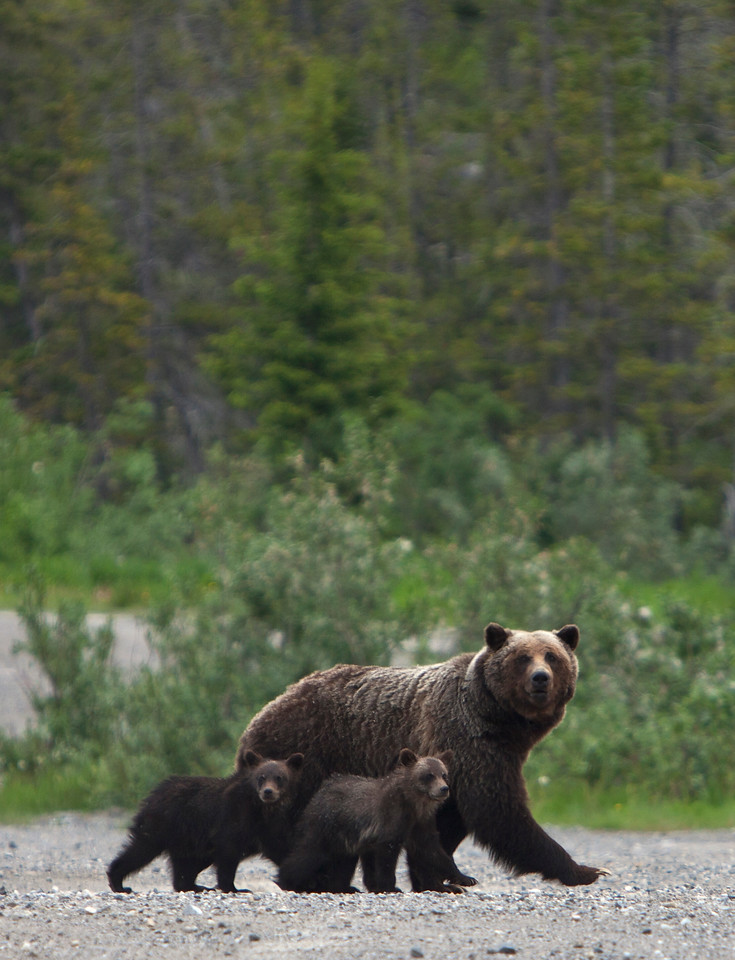 Mamma Grizzly & Cubs Vertical