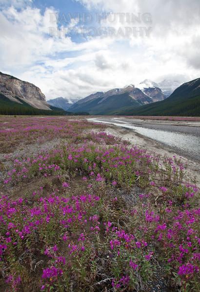 Purple Wildflowers on Icefield Parkway Vertical