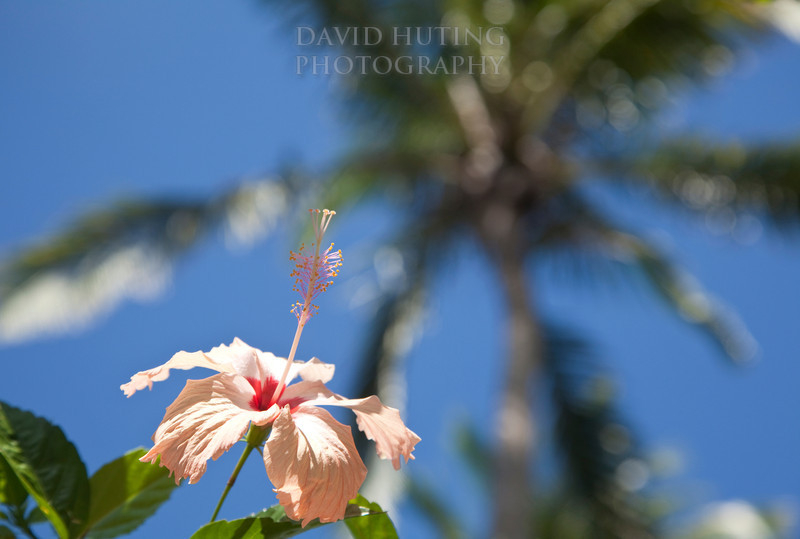 Tropical Hibiscus View