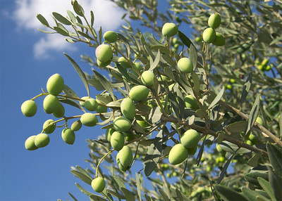 Galilee Olives