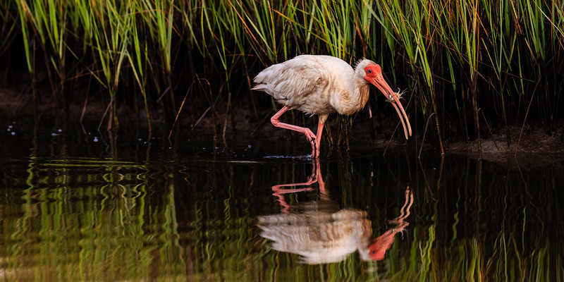 Ibis and Blue Crab