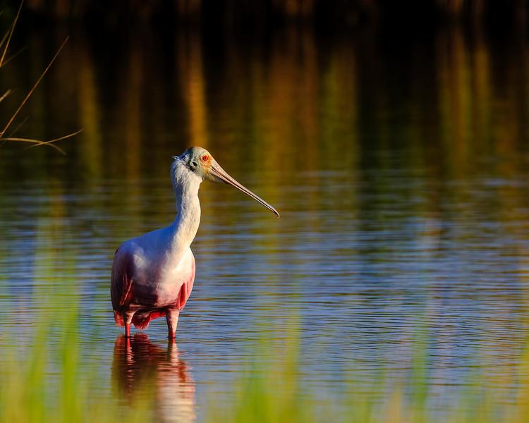 Roseate - In the Marsh
