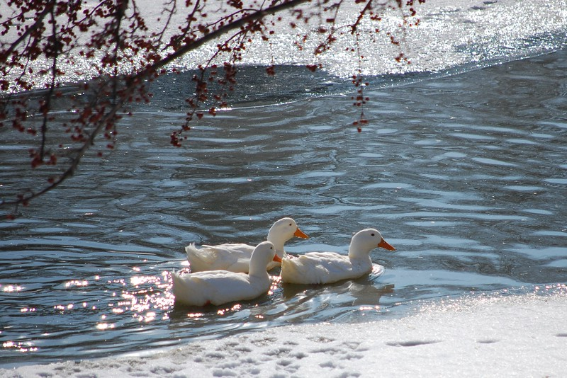 Ducks @ Sippo Park