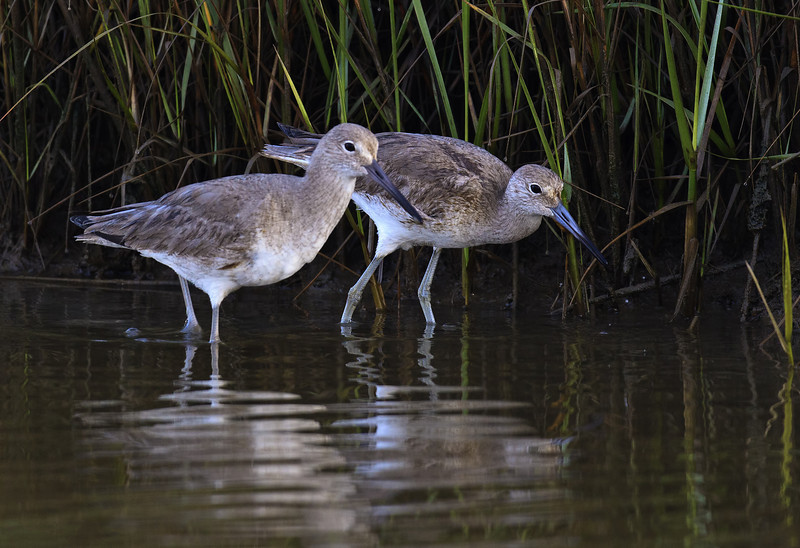Wondering Willets