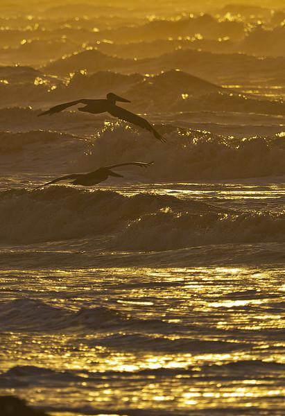 Golden Gulf & Pelicans