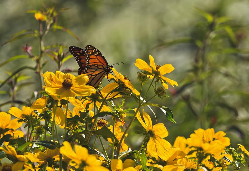 Monarch Morning