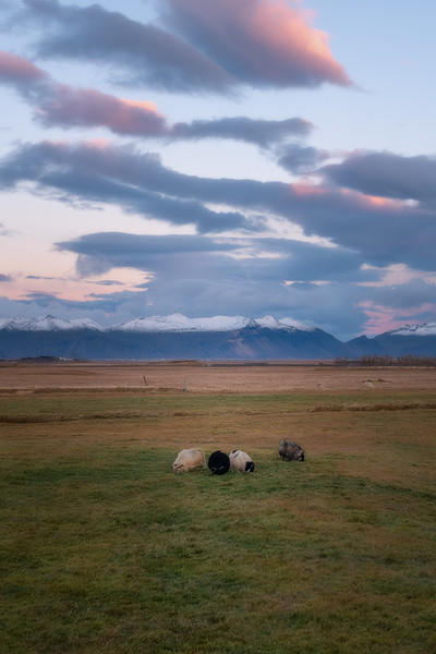 Grazing Sheep Near Höfn