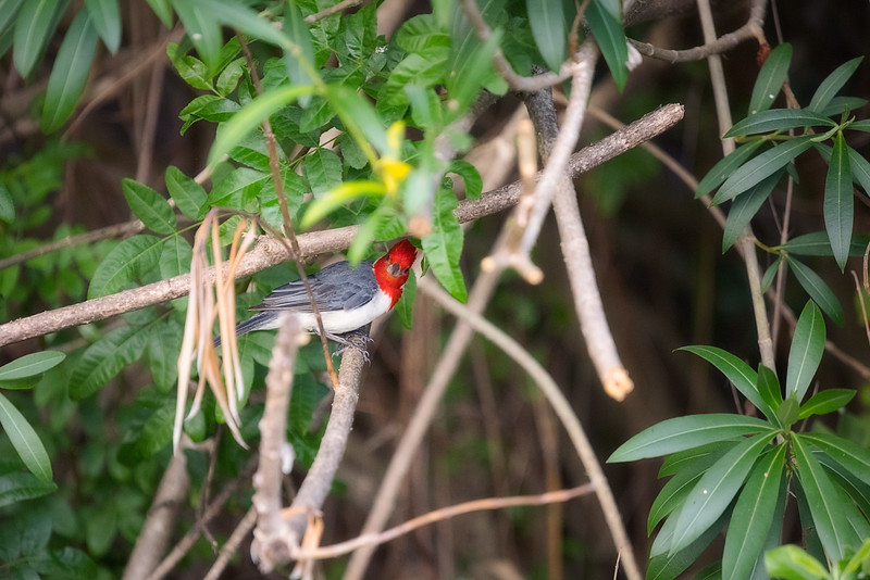 Red Crested Cardinal Watching from Tree