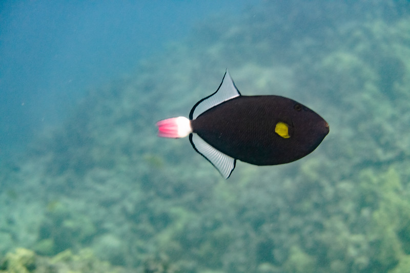 Pink-tail triggerfish