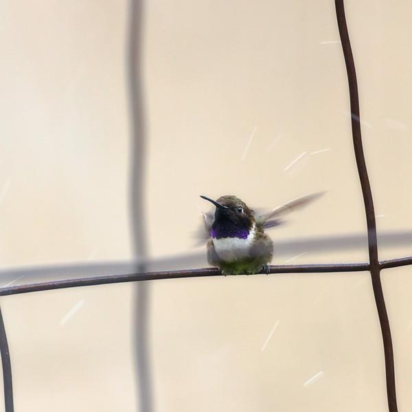 Hummingbird Enjoying Sprinkler Bath