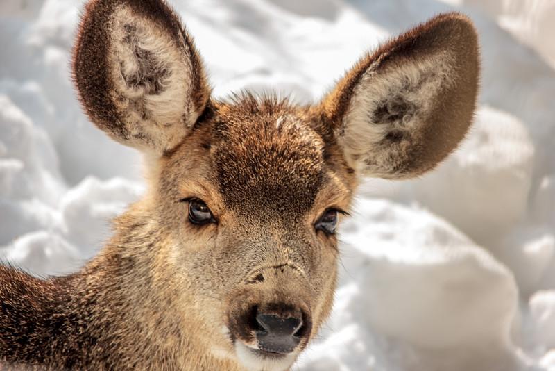 Deer lays in back yard watching me closely.