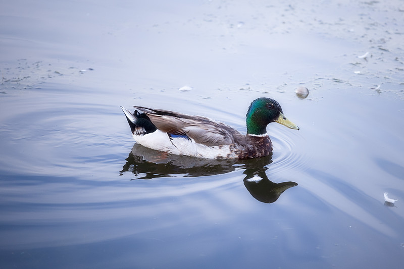 Mallard Duck at Sugarhouse Park