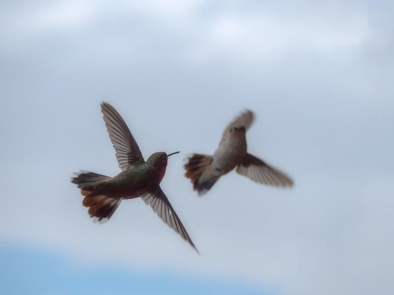 Hummingbirds Negotiating Feeder Usage
