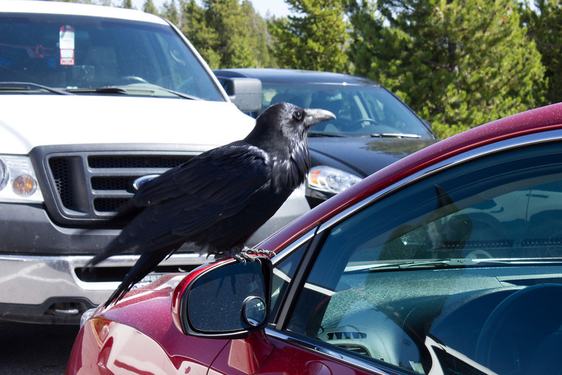 Raven lands on cars side mirror