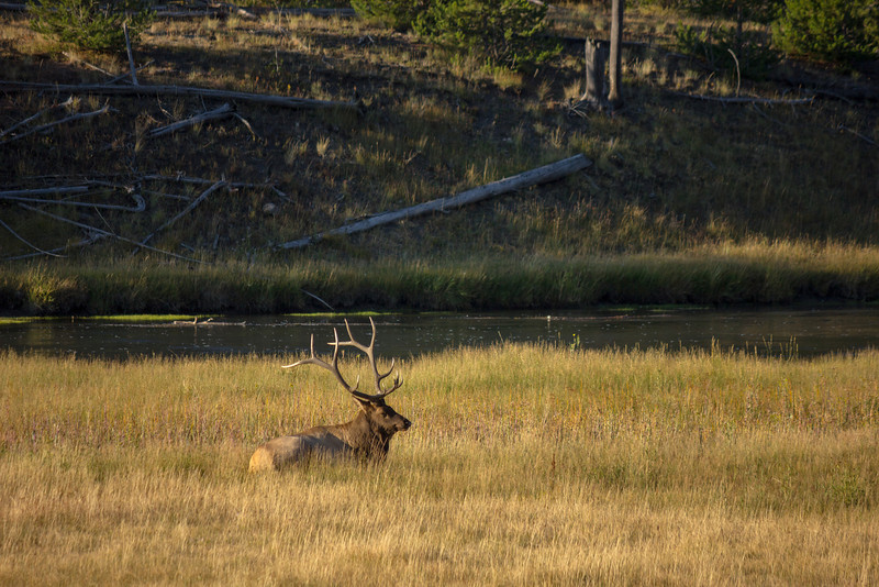 Bull elk naps in the sun