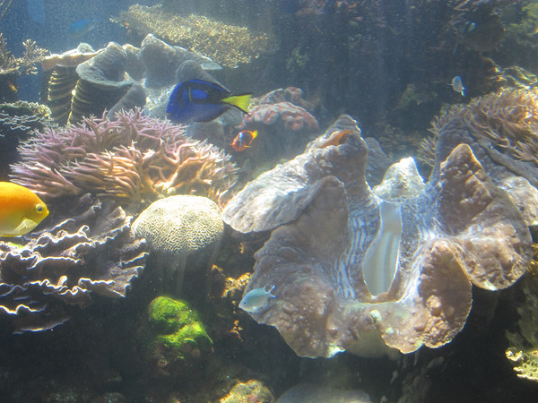 Giant Clams at the Aquarium