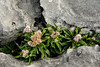 Ireland<br /> Wildflowers in a crevice between limestone paving blocks.  It looks like a form of sedum or stonecrop.<br /> <br /> Close to the shore at Doolin.  County Clare, Ireland.