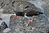 American oystercatcher.<br /> <br /> It might almost be posing for its portrait.<br /> <br /> Gardner Bay, Isla Espanola,<br /> Galapagos Islands.