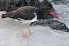 American Oystercatcher in the Galapagos