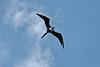 Frigate bird overhead